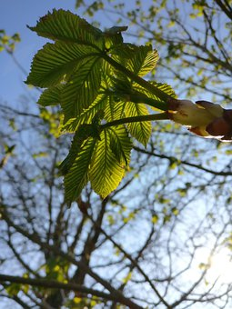 Chestnut, Blossom, Bloom, Chestnut Blossom