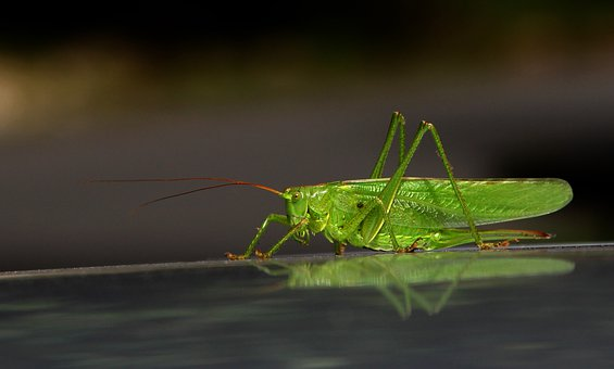 Grasshopper, Cricket, Bug, Insect, Grille, Reflection