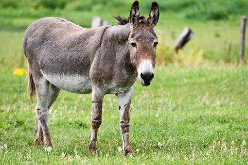 Donkey, Equine, Mammal, Long Eared, Beast Of Burden