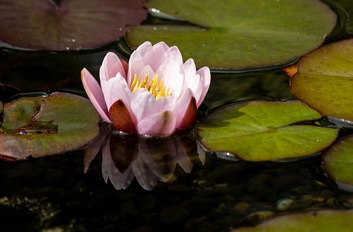 Flower, Water Lilly, Petals, Stem, Plants, Buds, Nature