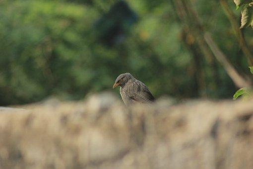 Bird, Jungle Babbler, Aviary, Nature, Jungle, Forest