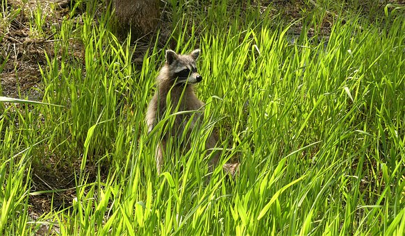 Raccoon, Wildlife, Furry, Outdoors, Nature