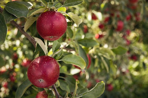 Apple, Tree, Fruit, Leaves, Foliage, Ripe, Healthy