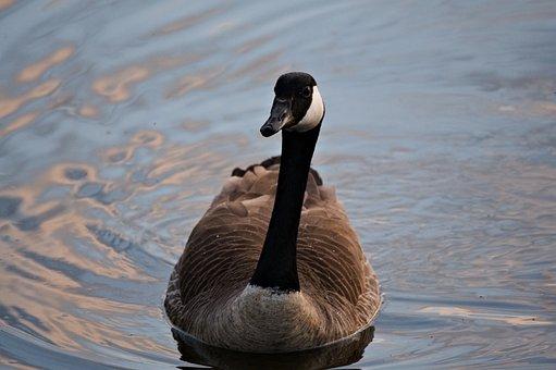 Goose, Bird, Beak, Plumage, Feathers, Avian, Nature
