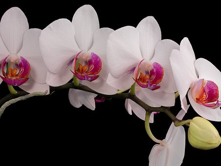 Flowers, Orchid, Bud, Petals, White, Indoor Plant