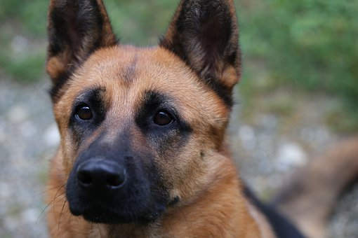 Dog, German Shepherd, Pet, Domestic, Canine, Guardian