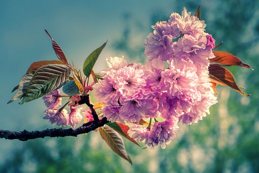 Cherry Blossom, Japanese, Spring, Pink, Cherry Tree