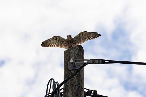 Falcon, Flying, Bird, Wings, Beak, Plumage, Feathers