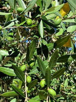 Olives, Trees, Fruit, Leaves, Foliage, Branches