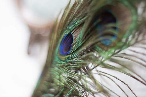 Feather, Peacock, Detail, Colorful, Animal