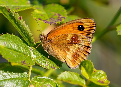 Butterfly, Gatekeeper, Leaves, Foliage, Brown Butterfly