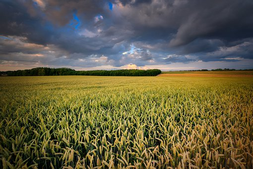 Cornfield, Ripe, Harvest, Rye, Wheat, Cereals, Field