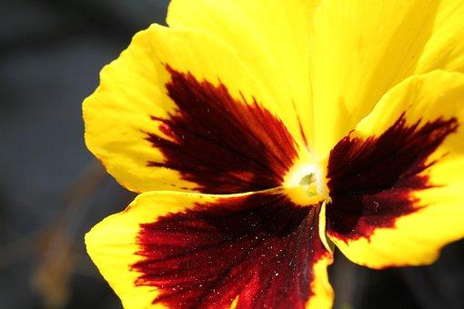 Flower, Pansy, Petals, Blossom, Bloom, Plant, Garden