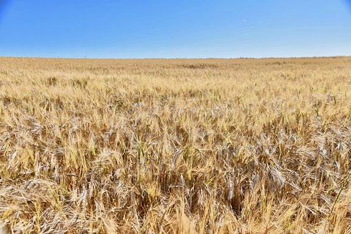 Wheat Fields, Agriculture, Cereals, Grain, Harvest