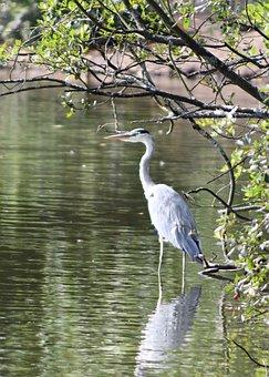 Heron, Waterbird, Bird, Wildlife, Wings, Pool, Nature