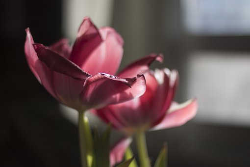 Tulip, Flowers, Petals, Light, Nature, Bloom, Dainty
