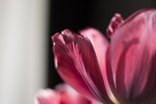 Tulip, Flower, Petals, Light, Nature, Bloom, Detail
