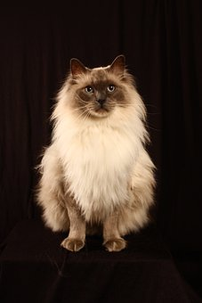 Cat, Feline, Pet, Animal, Cute, Mammal, Fluffy, Fur
