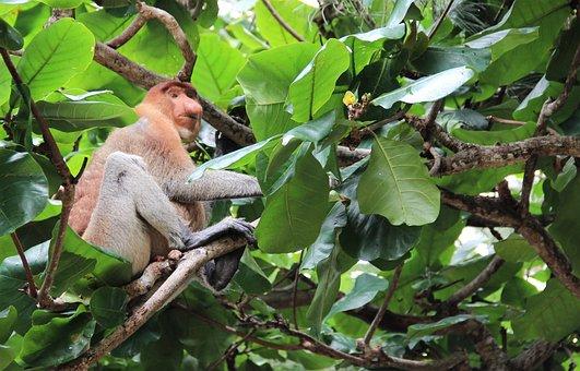 Monkey, Tree, Mammal, Proboscis Monkey, Borneo, Unique