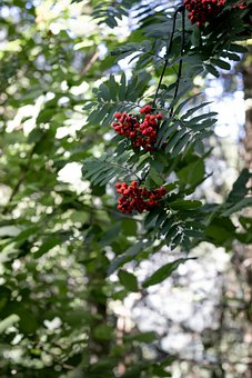 Berries, Wild Berries, Red Berries, Rowan Berry, Rowan