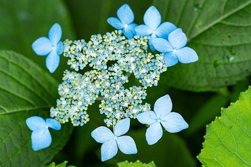 Flowers, Petals, Leaves, Foliage, Plant, Yamaajisai