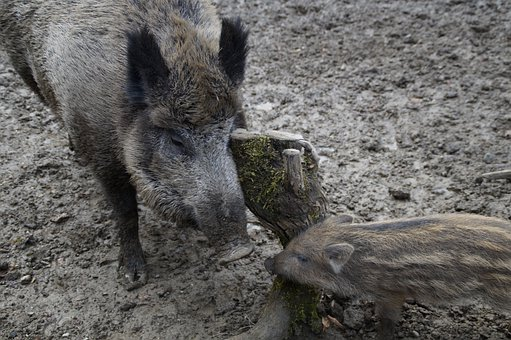 Bache, Launchy, Wild Boars, Mother And Child, Wild Boar
