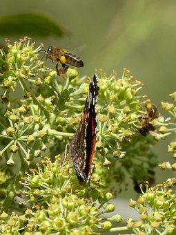 Butterfly, Atalanta, Vanessa Atalanta, Bee, Flying Bee