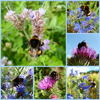 Hummel, Bee, Insect, Pollination, Flower, Blossom