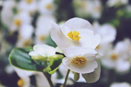 Begonias, Flowers, White, Bright, Begonia, Eyes Of God