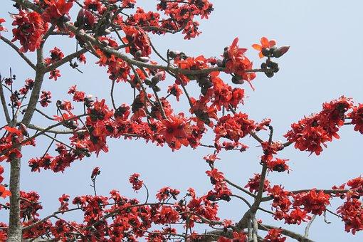 Bombax Ceiba, Silk Cotton, Flower, Tree, Blossoms