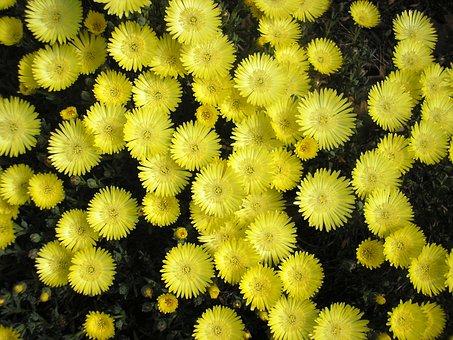 Yellow Pigface, Flower, Pigface, Carpobrotus