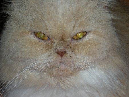 Cat, Cat's Eye, Cat Face, Animal, Pet, Feline, Cat Nose