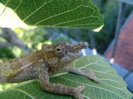 Chameleon, Tavetanum, Lizard, Jungle, Reptile, Green