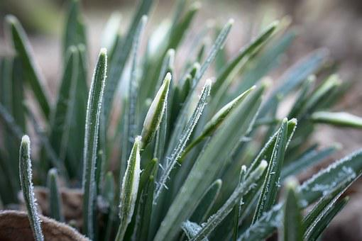Snowdrop, Ice, Winter, Ripe, Leaves, Bud, Flowers, Cold