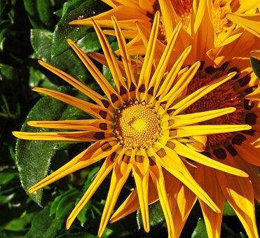 Ice Plant, Half Open, Corona, Sun, Yellow, Foliage