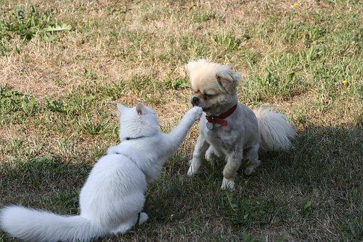 Cat, Domestic Cat, Tibetan Spaniel, Sweet, Cheeky, Box