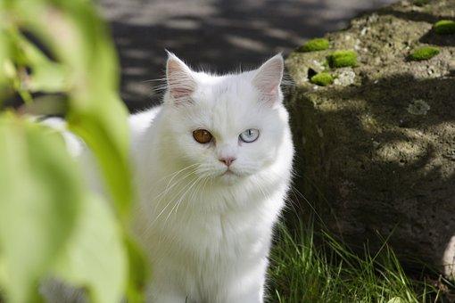 Cat, Domestic Cat, Ekh, Sweet, Dear, Persian Cat