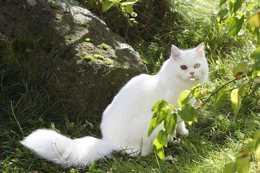 Cat, Domestic Cat, European Shorthair, Sweet, Dear