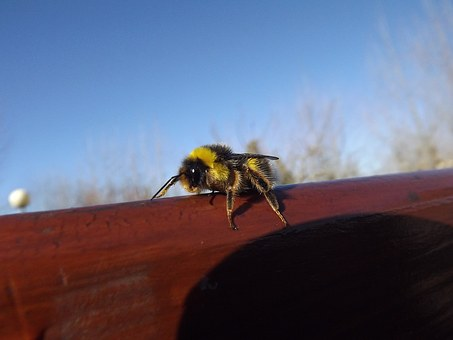 Bee, Yellow, Black, Fly, Drone, Insect, Spring