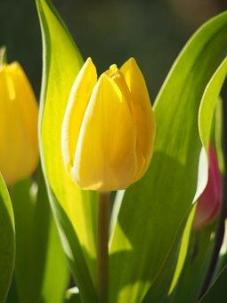 Tulip, Meadow, Bed, Green, Blossom, Bloom, Garden