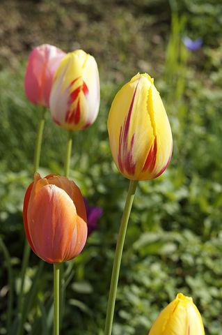 Tulips, Garden, Cut Flowers, Spring, Nature, Flowers