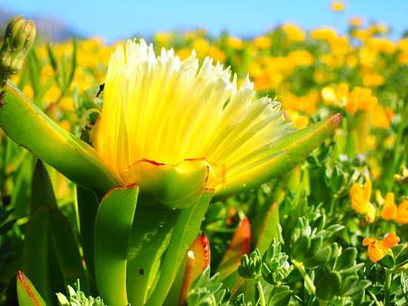 Yellow Ice Plant, Hottentottenfeige, Flower, Blossom