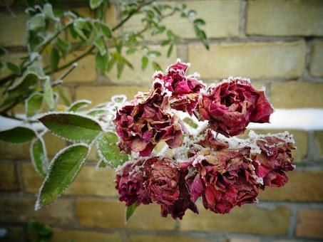 Roses, Frozen, Ice, Cold, Winter, Flower, Bloom, Frost