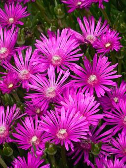 Groundcover, Ice Plant, Ice, Plant, Flower, Spring