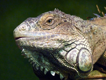 Iguana, Reptile, Lizard, Profile, Face, Animal, Cute