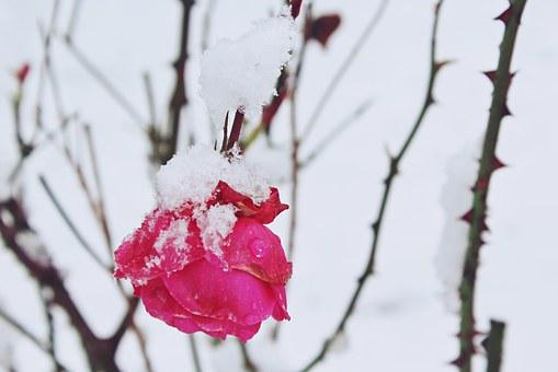 Rose, Snow, Winter, Nature, Red, Covered, Blossom