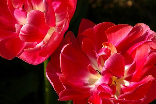 Tulips, Red, Flower, Spring, Nature, Flowers, Bloom