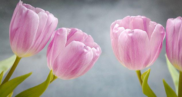 Tulips, Pink, Pink Flowers, Flowers, Number Of Pieces