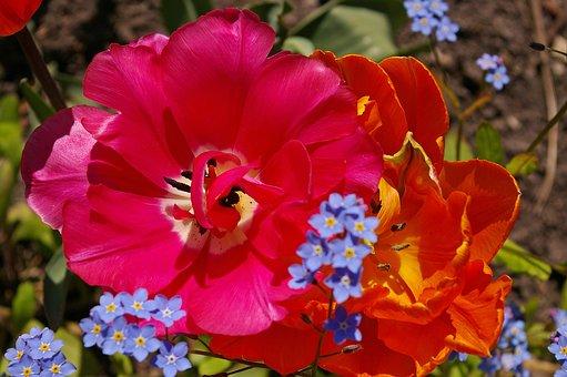 Tulips, Orange Tulips, Pink, Flower, Spring, Nature