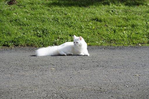 Cat, Domestic Cat, Sweet, Dear, Persian Cat, Breed Cat